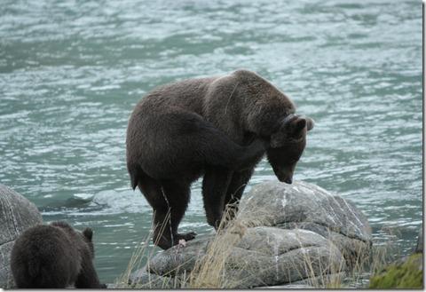 bears 135
